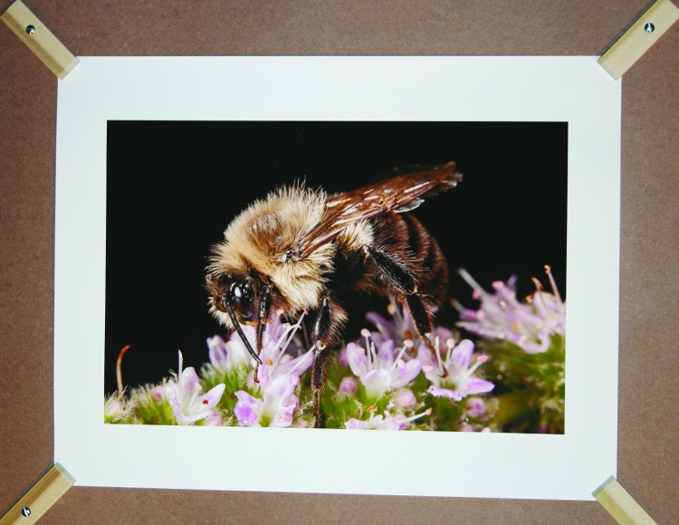PHOTO BY CHUCK HOVEN Friday, December 12, 2104; Tremont Art Walk, Patsy Kline's Gallery U, 2338 Scranton Road: A photo of a bee in a show titled Tres Munsters: Macrophotography of bugs eating, sleeping and copulating by Mike Vrana.