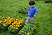 Attilio Pacetti, age 2, kicks a grouping of plants.